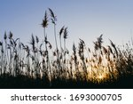 Reeds Sway On Wind And Sun Ray...