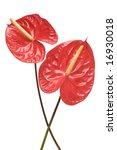 Red Anthurium Flowers Isolated...