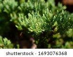 Vigorous Shoots Growth Of...