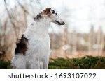 Portrait Of A Russian Greyhoun...