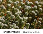 Sweet White Alyssum Flowers In...