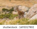 Male Of Mountain Goat In Gredo...