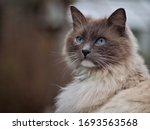 Long Haired Cat With Blue Eyes
