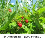 Wild Strawberries Grow On The...