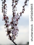 Small photo of Mirabelle tree. Blooming red mirabelle. Red leaves and pink flowers of a fruit tree.