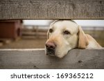 Yellow Labrador Retriever...