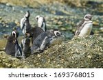 Magellanic Penguins At Tuckers...