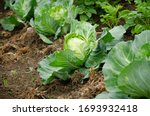 Fresh Cabbage From Farm Field....