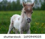 Little Foal Of American Mini...