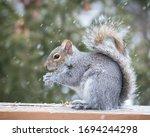 Grey Squirrel Eating A Peanut...