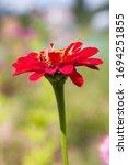 Summer garden. red zinnia...