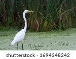 Great White Egret In A Marsh