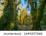 A path in the fairy green forest. The forest along the trail is filled with old temperate trees covered in green and brown mosses. Hoh Rain Forest, Olympic National Park, Washington state, USA - stock photo