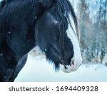 Clydesdale Black Horse Portrait ...