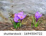 Flowering Purple Crocus Flower...