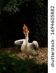 Dalmatian Pelican   World\'s...