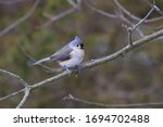 Tufted Titmouse Looking At The...