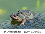Frogs.  Two Common Garden Frog...