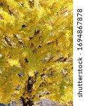 Small photo of Row of yellow ginkgo biloba tree (Maidenhair Tree), Leaves of the ginkgo biloba (maidenhair tree) turn to golden in autumn season at