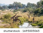 Group Of Giraffes Drinking In...