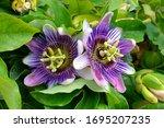 Purple Passion Flower  Passion...