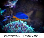 Azure Damselfish  Chrysiptera...