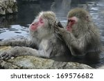Snow Monkey Or Japanese Macaqu...