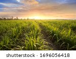 Sugarcane field at sunset....