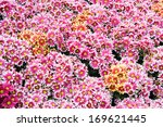 background of pink daisy flowers | Shutterstock . vector #169621445