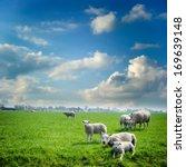 Sheep Herd At Green Summer...