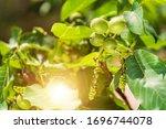Small photo of Little walnuts on the walnut tree. Green unripe walnuts hang on a branch. Green leaves and unripe walnut. Fruits of a walnut. Raw walnuts in a green nutshell. Ripe nuts of a Walnut tree.