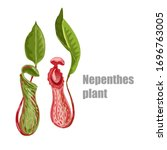 Nepenthes, genus of carnivorous plants. Monkey cups exotic liana rainforest plant. Vector drawing nepentes with open trap and green leaf isolated on white background. Carnivorous tropical pitch set.
