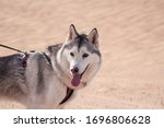 A Husky Dog On A Leash In The...