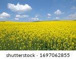 Blooming Canola Field. Rape On ...