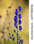 Small photo of Aconit napel flower in Vosges, France specie Aconitum napellus