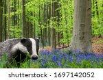 European Badger  Meles Meles ...