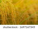 Autumn Ripe Rice Paddy With...