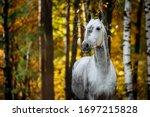 Portrait Of White  Grey Horse...