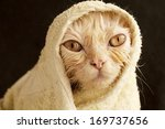 Stock photo hilarious wet cat wrapped in a towel 169737656