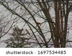 Two Redhead Woodpeckers Flying...