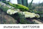 Most Polypores Are Edible Or A...