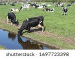 A Dutch Cow Is Drinking Water...