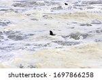 Sea Lions Swimming Into The...