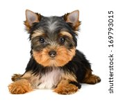 Stock photo yorkshire terrier puppy the age of month isolated on white 169793015