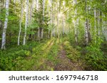 Birch Grove On The River In The ...
