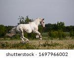 Beautiful Stallion Frisean Mix...
