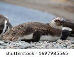 Juvenile Magellanic Penguin...
