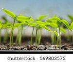 Macro Of Pepper Seedlings Read...
