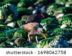 Small photo of An American Black Oyster Catcher forages for food on a Whidbey Island beach at low tide