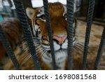 Amur Tiger In Captivity. A...